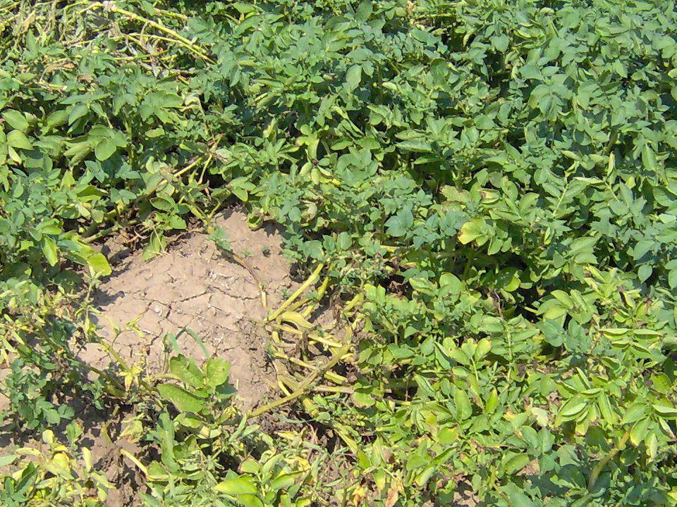Vetési bagolylepke lárvája Kártevő neve: Mocskospajor, vetési bagolylepke (Agrotis segetum) és egyéb talajszinten károsító bagolylepkefajok lárvái.