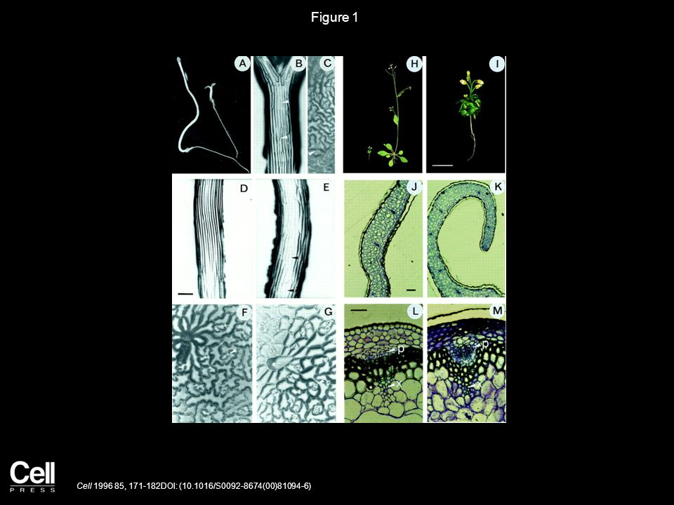Figure 2 Cell 1996 85, 171-182DOI: (10.1016/S0092-8674(00)81094-6)