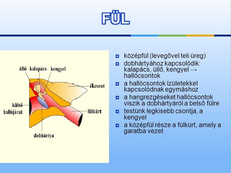  külső fül (dobhártyáig)  részei  fülkagyló  külső hallójárat  Összegyűjti a hanghullámokat és a hallójáraton át a dobhártyáig tereli.  A hallój