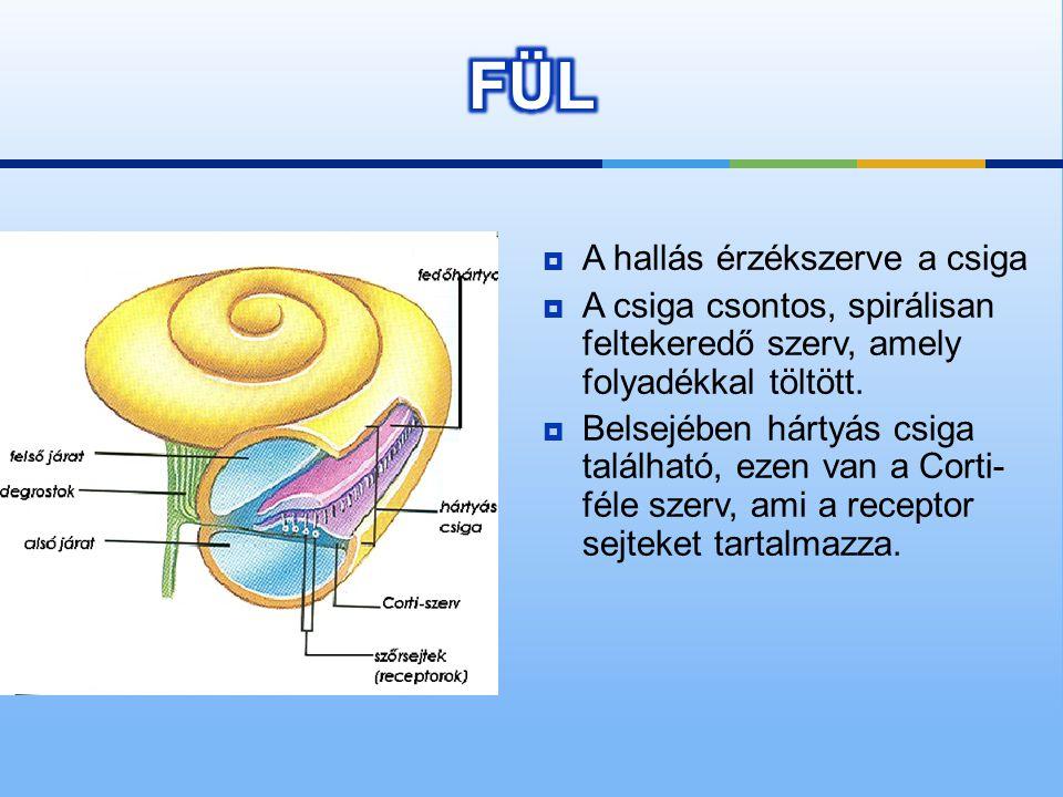  Belső fül: ebben található a csiga