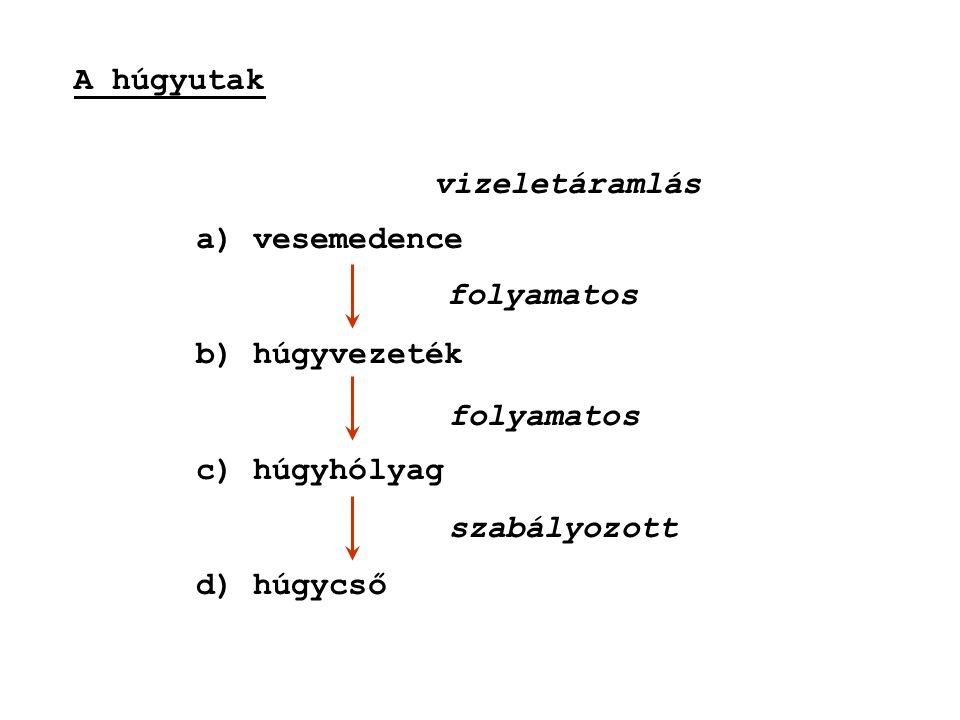 A húgyutak a) vesemedence b) húgyvezeték c) húgyhólyag d) húgycső folyamatos szabályozott vizeletáramlás