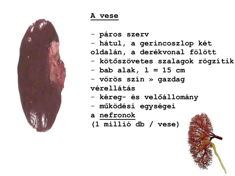 d) Húgycső - páratlan - simaizom - férfiak: 15-20 cm (hímvesszőben) - nők: 4-5 cm (hüvelybe nyílik) - kezdeti szakaszán gyűrű alakú záróizmok