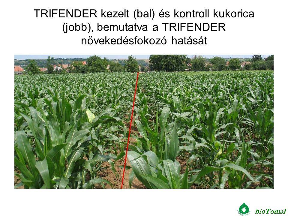 TRIFENDER kezelt (bal) és kontroll kukorica (jobb), bemutatva a TRIFENDER növekedésfokozó hatását