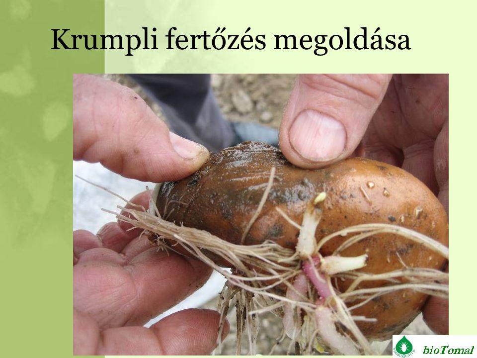 Krumpli fertőzés megoldása