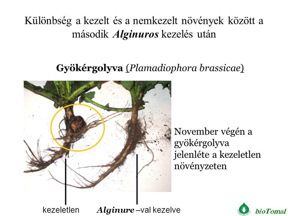 kezeletlen Alginure –val kezelve November végén a gyökérgolyva jelenléte a kezeletlen növényzeten Gyökérgolyva (Plamadiophora brassicae) Különbség a k