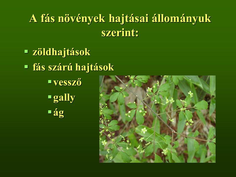 A fás növények hajtásai állományuk szerint:  zöldhajtások  fás szárú hajtások  vessző  gally  ág