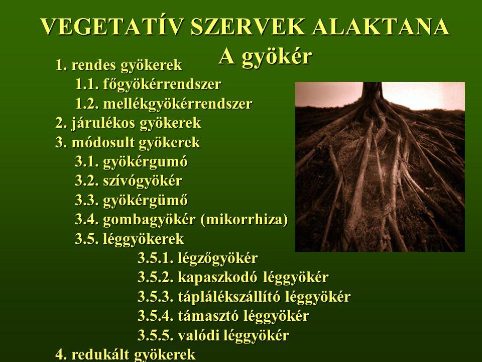 VEGETATÍV SZERVEK ALAKTANA A gyökér 1.rendes gyökerek 1.1.