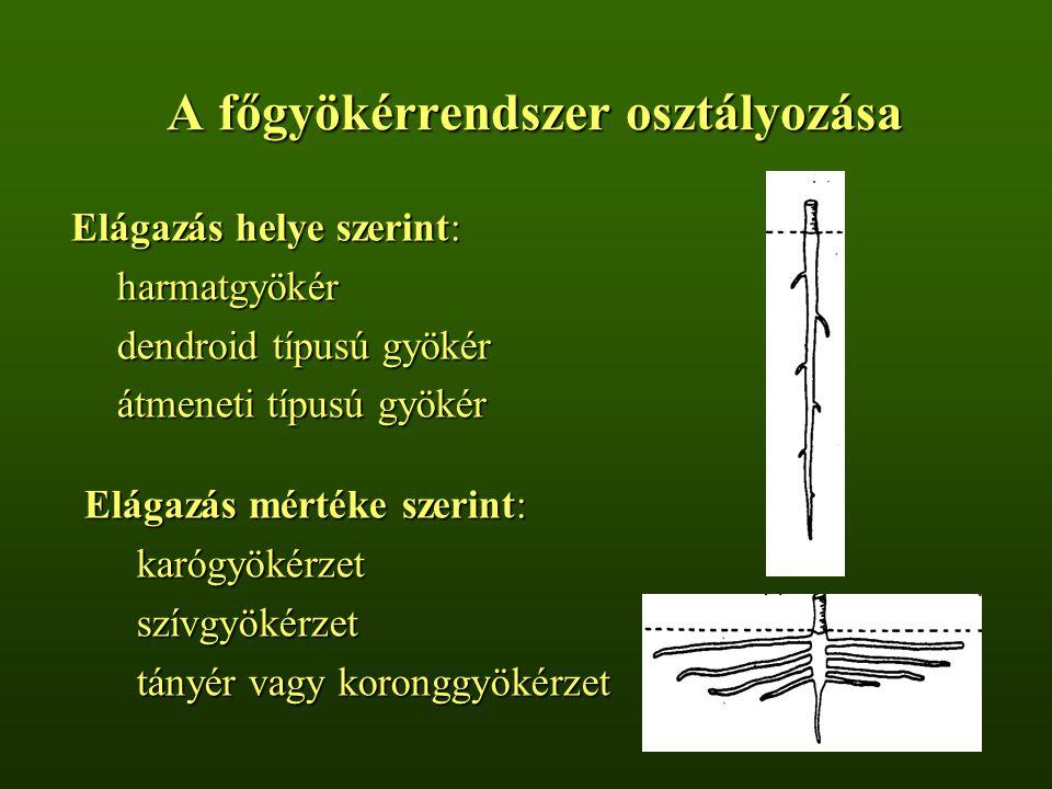 A főgyökérrendszer osztályozása Elágazás helye szerint: harmatgyökér dendroid típusú gyökér átmeneti típusú gyökér Elágazás mértéke szerint: karógyökérzetszívgyökérzet tányér vagy koronggyökérzet