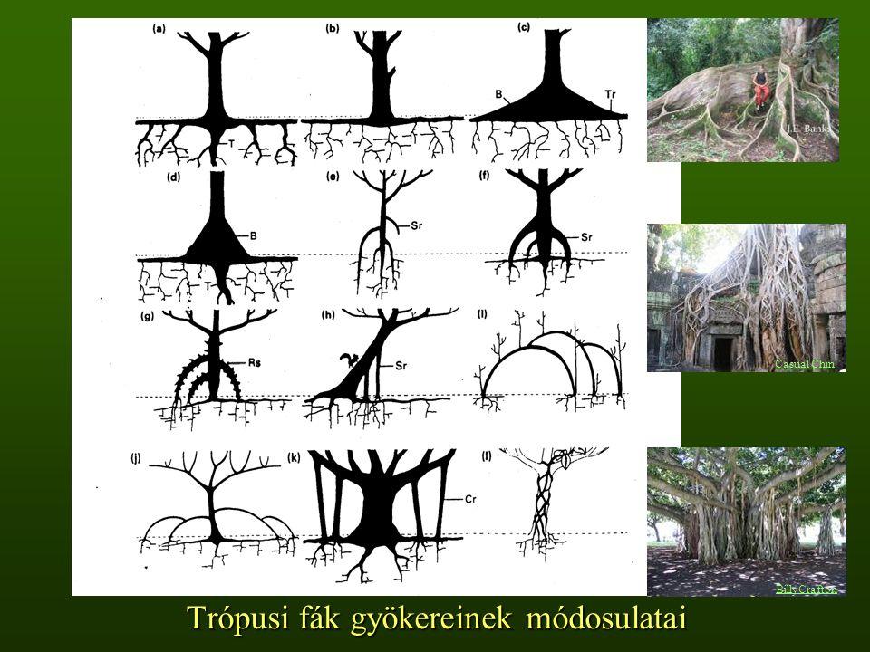 Trópusi fák gyökereinek módosulatai BillyCrafton Casual Chin