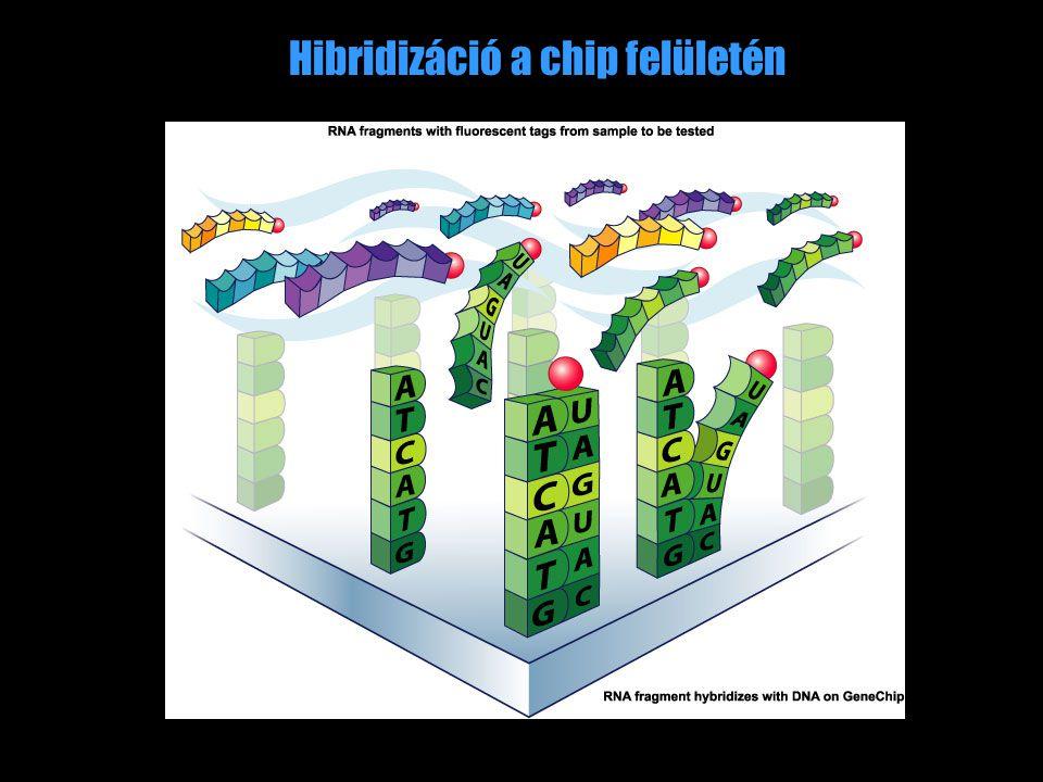 Hibridizáció a chip felületén