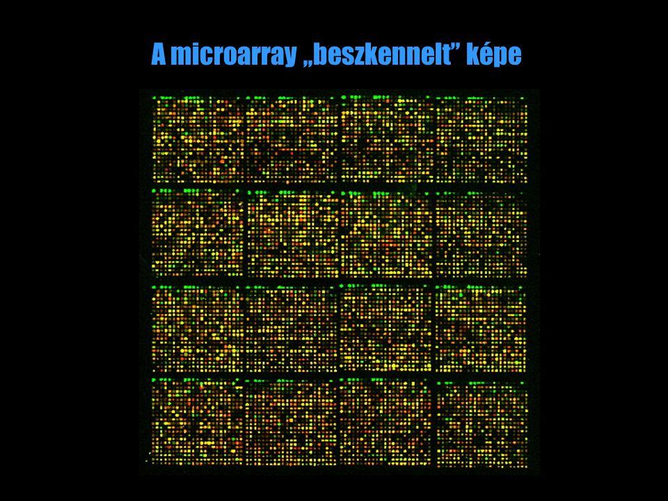 """A microarray """"beszkennelt"""" képe"""