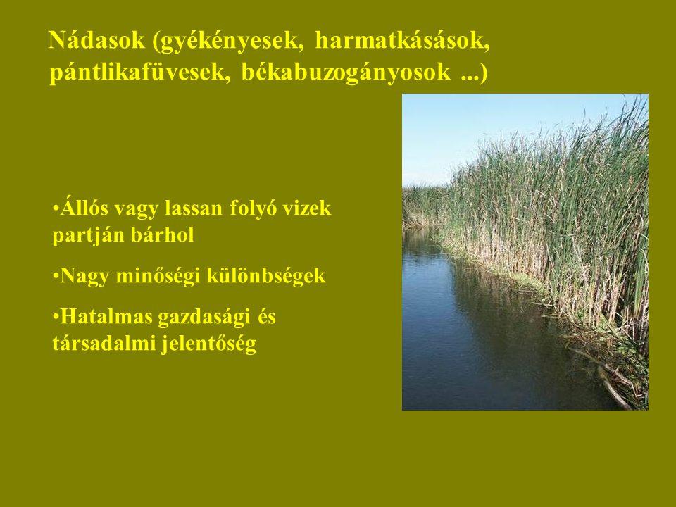 Nádasok (gyékényesek, harmatkásások, pántlikafüvesek, békabuzogányosok...) Állós vagy lassan folyó vizek partján bárhol Nagy minőségi különbségek Hatalmas gazdasági és társadalmi jelentőség