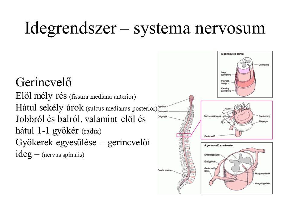 Idegrendszer – systema nervosum Gerincvelő Elöl mély rés (fissura mediana anterior) Hátul sekély árok (sulcus medianus posterior) Jobbról és balról, valamint elöl és hátul 1-1 gyökér (radix) Gyökerek egyesülése – gerincvelői ideg – (nervus spinalis)