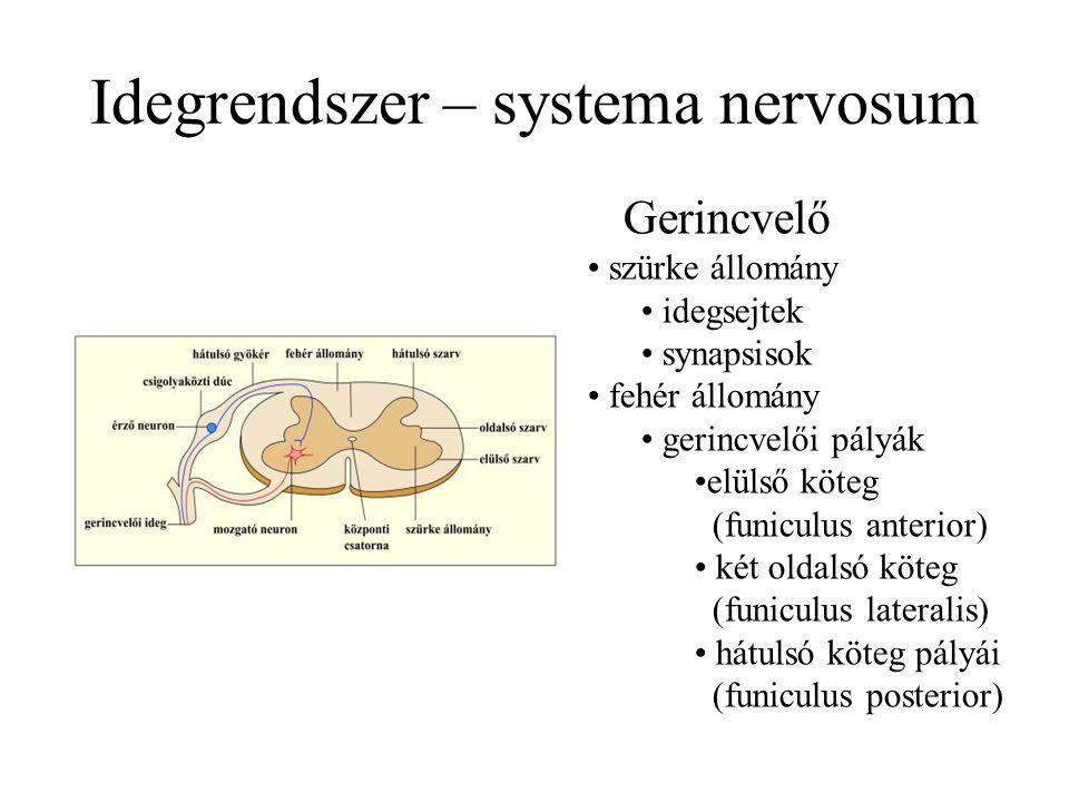 Idegrendszer – systema nervosum Gerincvelő szürke állomány idegsejtek synapsisok fehér állomány gerincvelői pályák elülső köteg (funiculus anterior) két oldalsó köteg (funiculus lateralis) hátulsó köteg pályái (funiculus posterior)