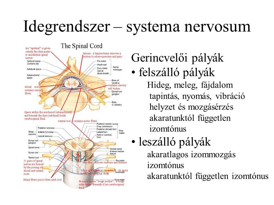 Idegrendszer – systema nervosum Gerincvelői pályák felszálló pályák Hideg, meleg, fájdalom tapintás, nyomás, vibráció helyzet és mozgásérzés akaratunktól független izomtónus leszálló pályák akaratlagos izommozgás izomtónus akaratunktól független izomtónus