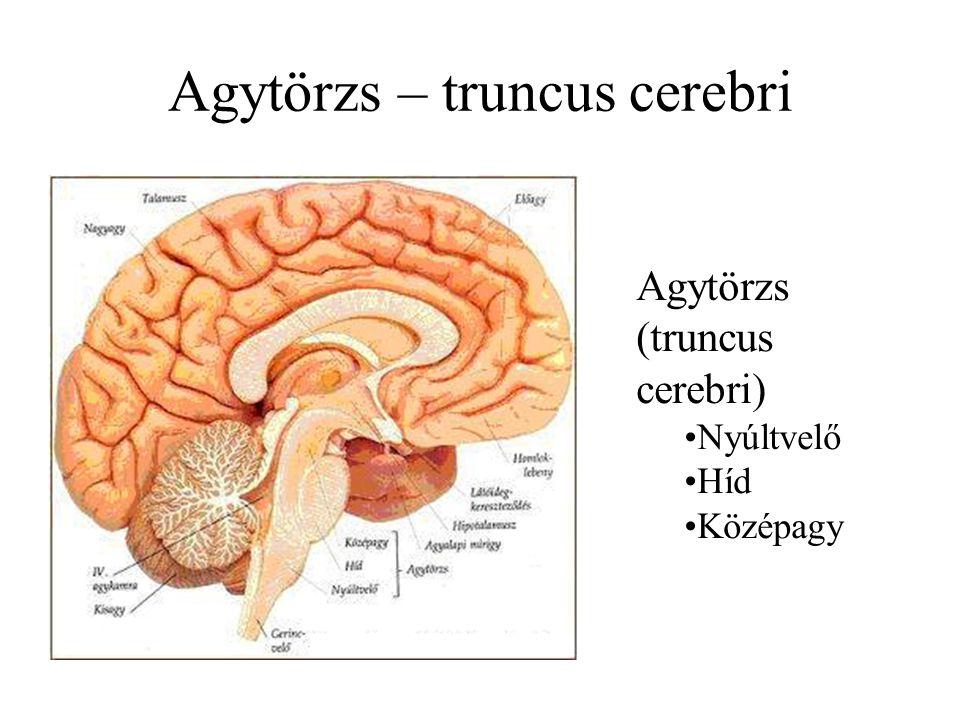 Agytörzs – truncus cerebri Agytörzs (truncus cerebri) Nyúltvelő Híd Középagy
