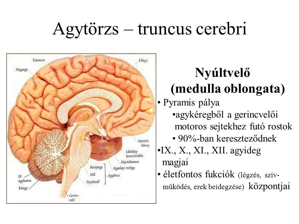 Agytörzs – truncus cerebri Nyúltvelő (medulla oblongata) Pyramis pálya agykéregből a gerincvelői motoros sejtekhez futó rostok 90%-ban kereszteződnek