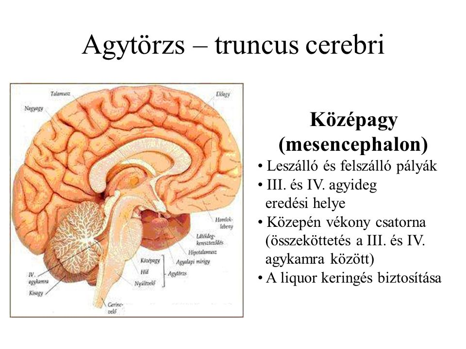 Agytörzs – truncus cerebri Középagy (mesencephalon) Leszálló és felszálló pályák III. és IV. agyideg eredési helye Közepén vékony csatorna (összekötte