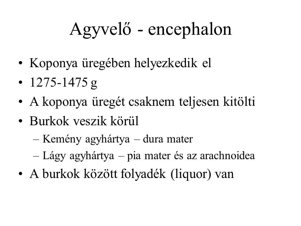 Agyvelő - encephalon Koponya üregében helyezkedik el 1275-1475 g A koponya üregét csaknem teljesen kitölti Burkok veszik körül –Kemény agyhártya – dura mater –Lágy agyhártya – pia mater és az arachnoidea A burkok között folyadék (liquor) van