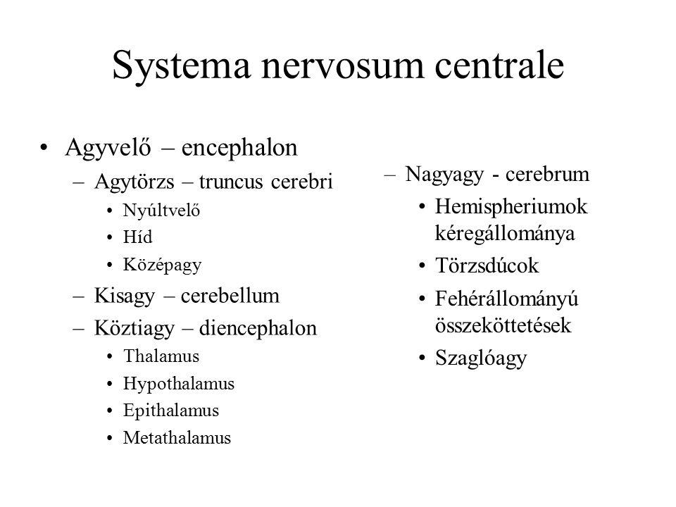 Systema nervosum centrale Agyvelő – encephalon –Agytörzs – truncus cerebri Nyúltvelő Híd Középagy –Kisagy – cerebellum –Köztiagy – diencephalon Thalamus Hypothalamus Epithalamus Metathalamus –Nagyagy - cerebrum Hemispheriumok kéregállománya Törzsdúcok Fehérállományú összeköttetések Szaglóagy