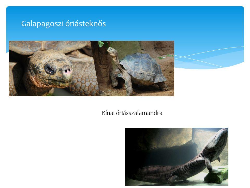 Galapagoszi óriásteknős Kínai óriásszalamandra
