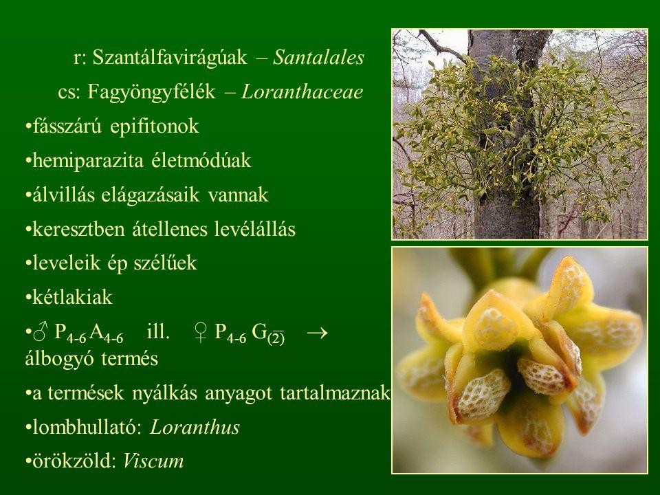 r: Szantálfavirágúak – Santalales cs: Fagyöngyfélék – Loranthaceae fásszárú epifitonok hemiparazita életmódúak álvillás elágazásaik vannak keresztben átellenes levélállás leveleik ép szélűek kétlakiak ♂ P 4-6 A 4-6 ill.