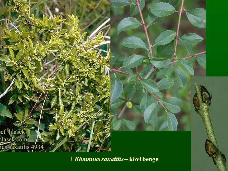 + Rhamnus saxatilis – kövi benge