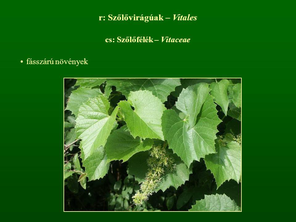 r: Szőlővirágúak – Vitales cs: Szőlőfélék – Vitaceae fásszárú növények