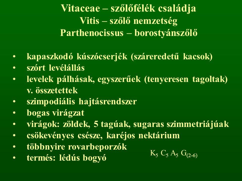 Vitaceae – szőlőfélék családja Vitis – szőlő nemzetség Parthenocissus – borostyánszőlő kapaszkodó kúszócserjék (száreredetű kacsok) szórt levélállás l