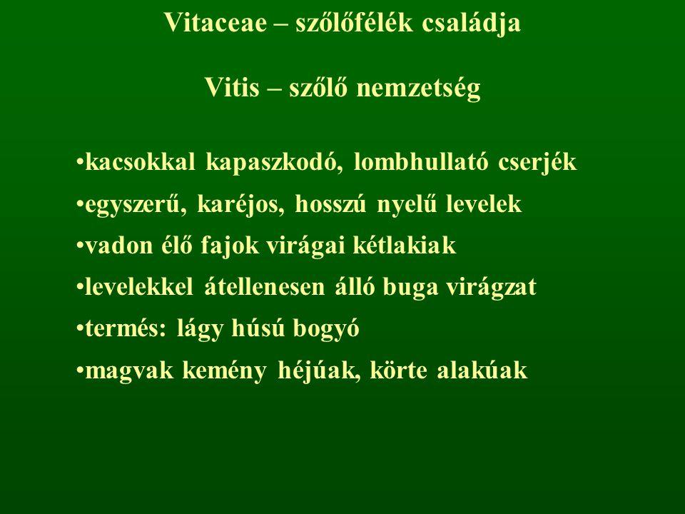 Vitaceae – szőlőfélék családja Vitis – szőlő nemzetség kacsokkal kapaszkodó, lombhullató cserjék egyszerű, karéjos, hosszú nyelű levelek vadon élő faj