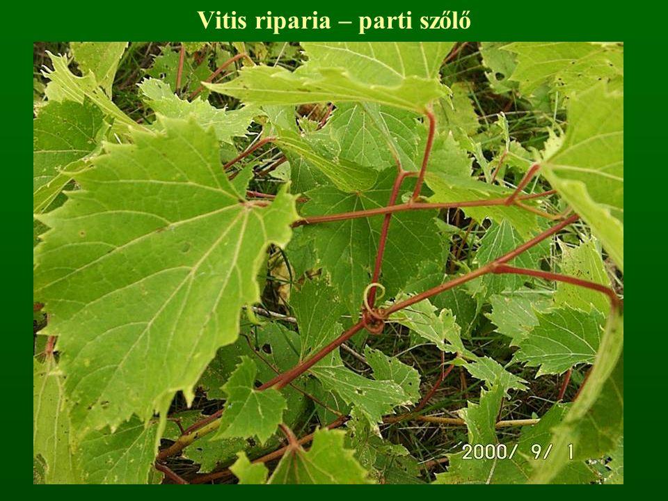 Vitis riparia – parti szőlő