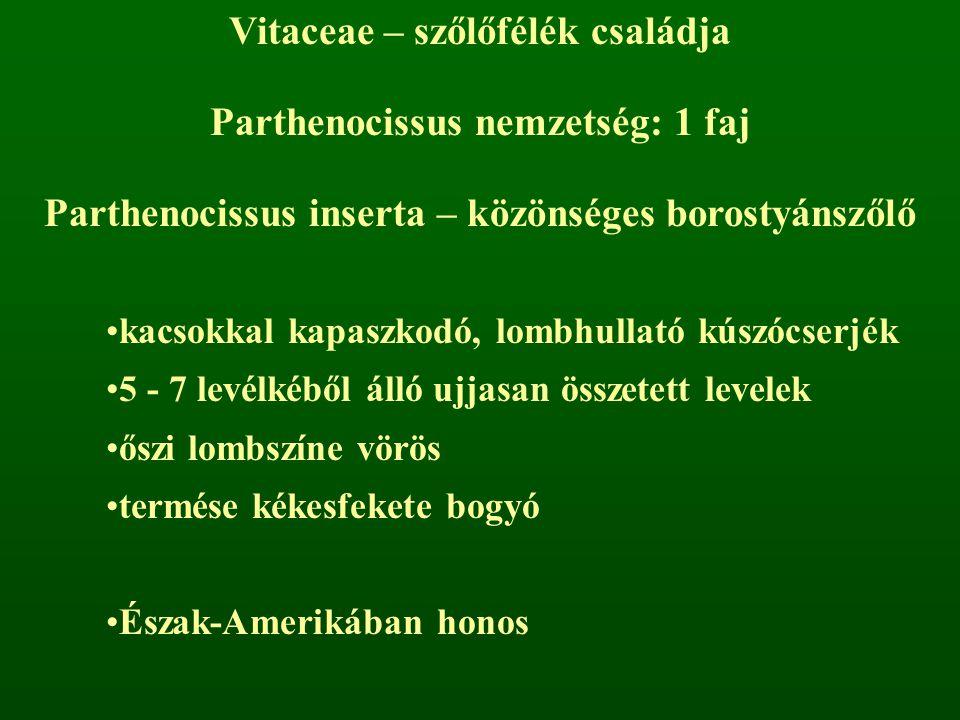 Vitaceae – szőlőfélék családja Parthenocissus nemzetség: 1 faj Parthenocissus inserta – közönséges borostyánszőlő kacsokkal kapaszkodó, lombhullató kúszócserjék 5 - 7 levélkéből álló ujjasan összetett levelek őszi lombszíne vörös termése kékesfekete bogyó Észak-Amerikában honos