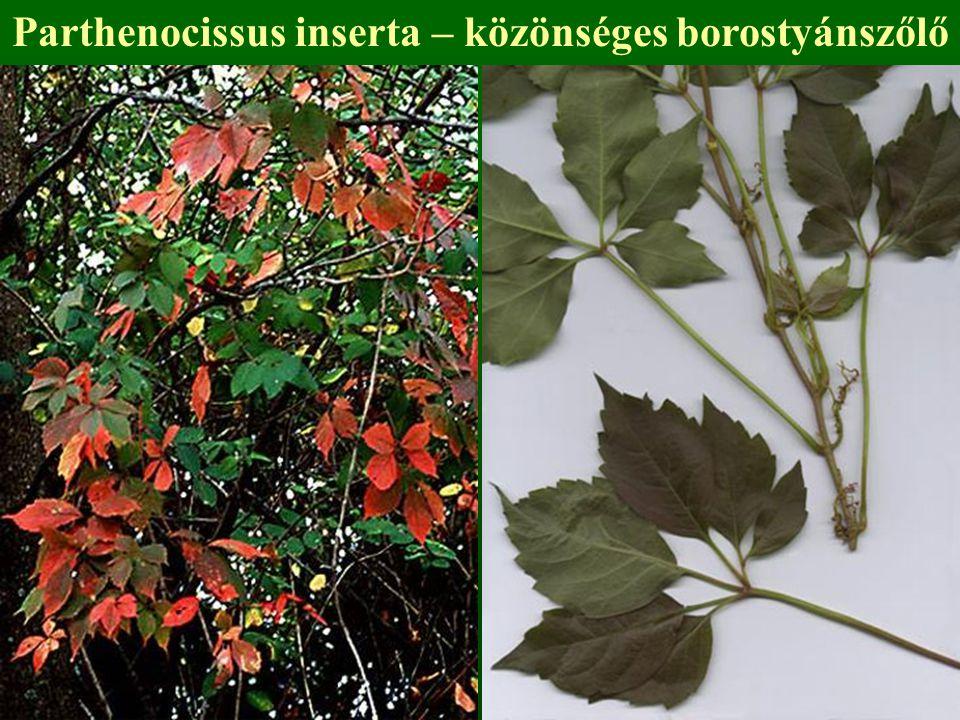 Parthenocissus inserta – közönséges borostyánszőlő
