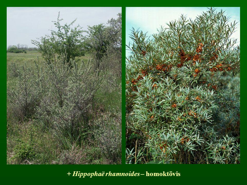 + Hippophaë rhamnoides – homoktövis