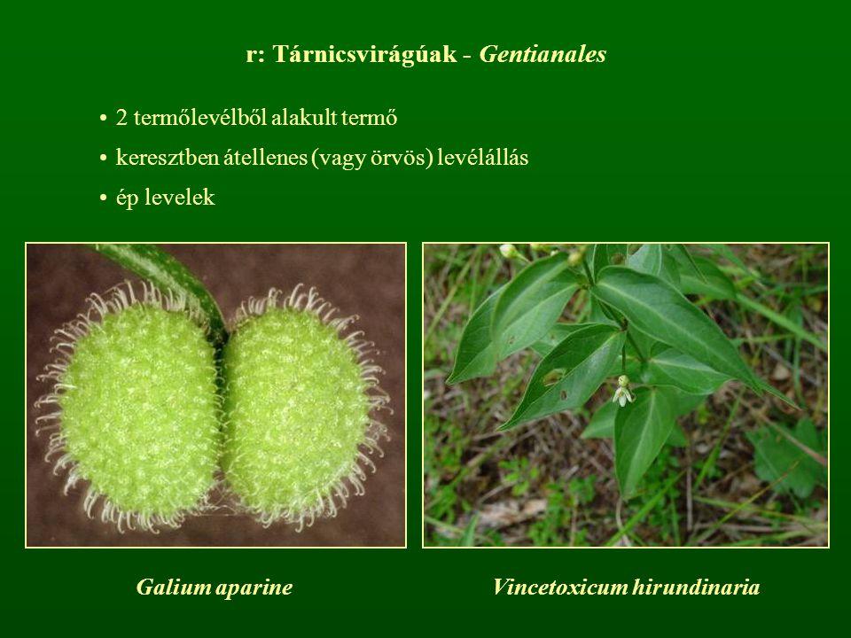 r: Tárnicsvirágúak - Gentianales 2 termőlevélből alakult termő keresztben átellenes (vagy örvös) levélállás ép levelek Galium aparineVincetoxicum hiru