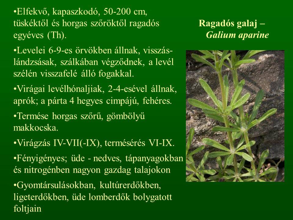 Ragadós galaj – Galium aparine Elfekvő, kapaszkodó, 50-200 cm, tüskéktől és horgas szőröktől ragadós egyéves (Th). Levelei 6-9-es örvökben állnak, vis