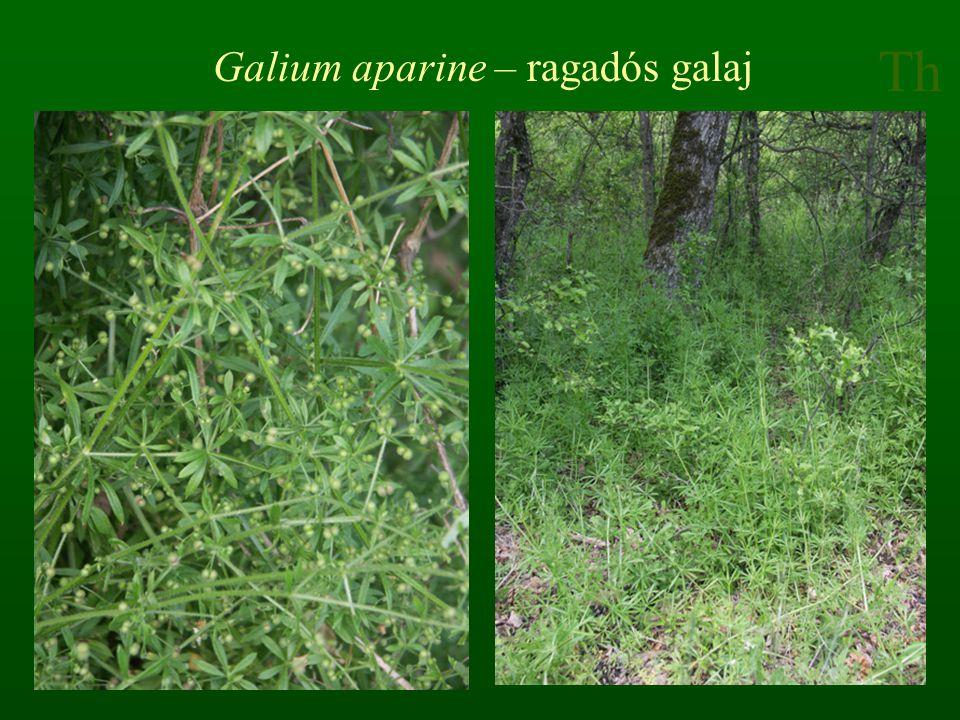 Th Galium aparine – ragadós galaj