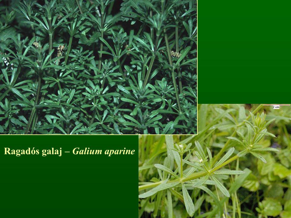 Ragadós galaj – Galium aparine