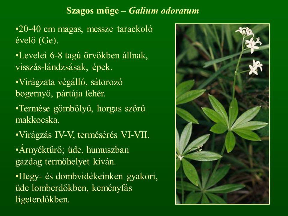 Szagos müge – Galium odoratum 20-40 cm magas, messze tarackoló évelő (Ge). Levelei 6-8 tagú örvökben állnak, visszás-lándzsásak, épek. Virágzata végál