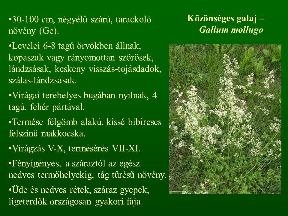 Közönséges galaj – Galium mollugo 30-100 cm, négyélű szárú, tarackoló növény (Ge). Levelei 6-8 tagú örvökben állnak, kopaszak vagy rányomottan szőröse