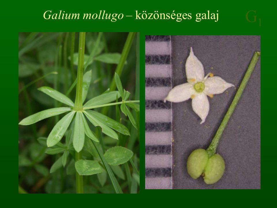 G1G1 Galium mollugo – közönséges galaj