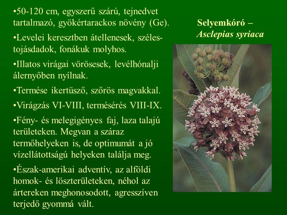 Selyemkóró – Asclepias syriaca 50-120 cm, egyszerű szárú, tejnedvet tartalmazó, gyökértarackos növény (Ge). Levelei keresztben átellenesek, széles- to
