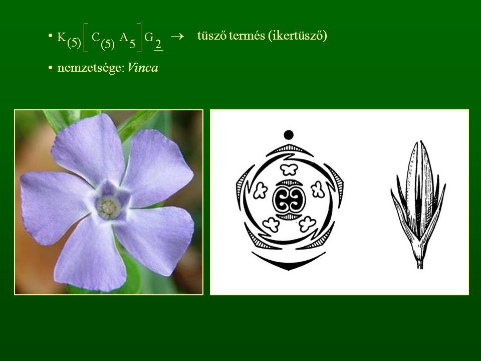  tüsző termés (ikertüsző) nemzetsége: Vinca
