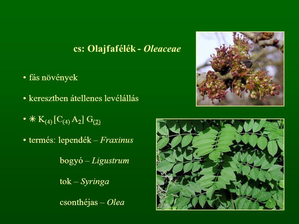 cs: Olajfafélék - Oleaceae fás növények keresztben átellenes levélállás ✴ K (4) [C (4) A 2 ] G (2) termés: lependék – Fraxinus bogyó – Ligustrum tok –