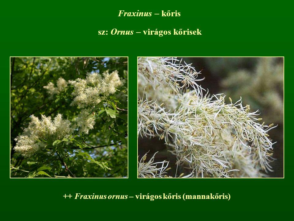 sz: Ornus – virágos kőrisek Fraxinus – kőris ++ Fraxinus ornus – virágos kőris (mannakőris)
