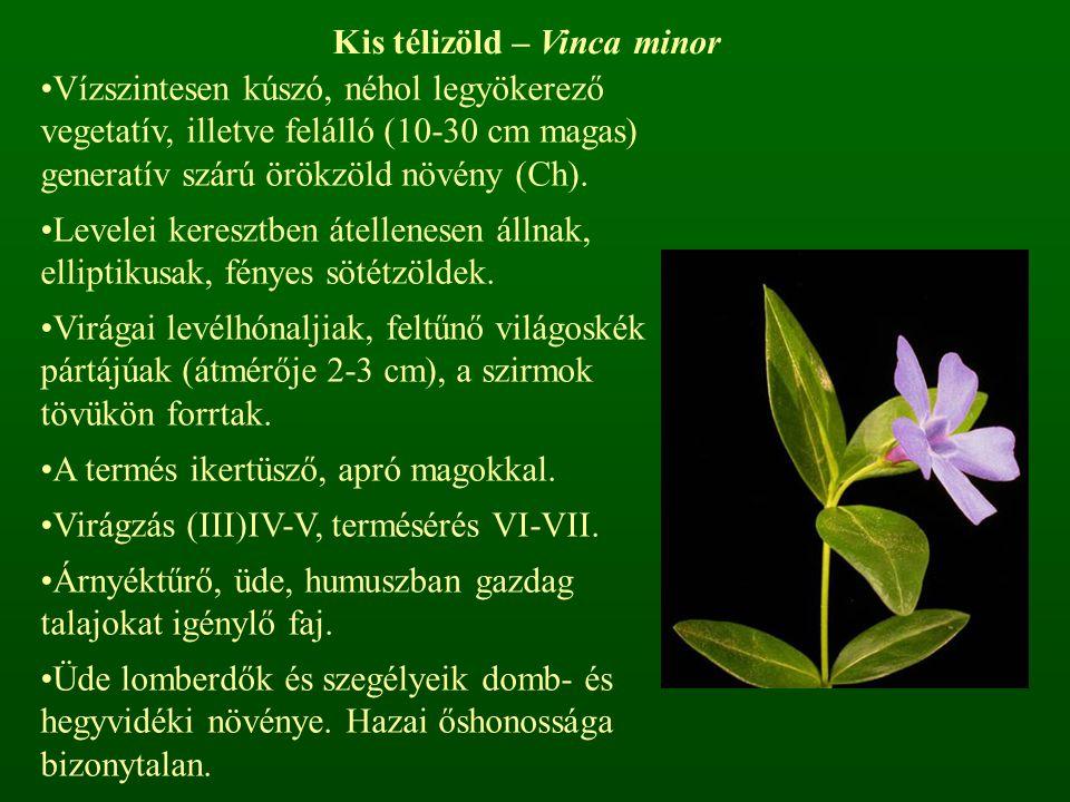 Kis télizöld – Vinca minor Vízszintesen kúszó, néhol legyökerező vegetatív, illetve felálló (10-30 cm magas) generatív szárú örökzöld növény (Ch). Lev