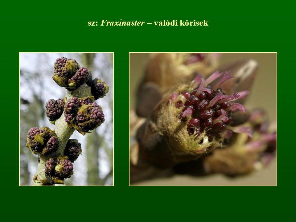 sz: Fraxinaster – valódi kőrisek