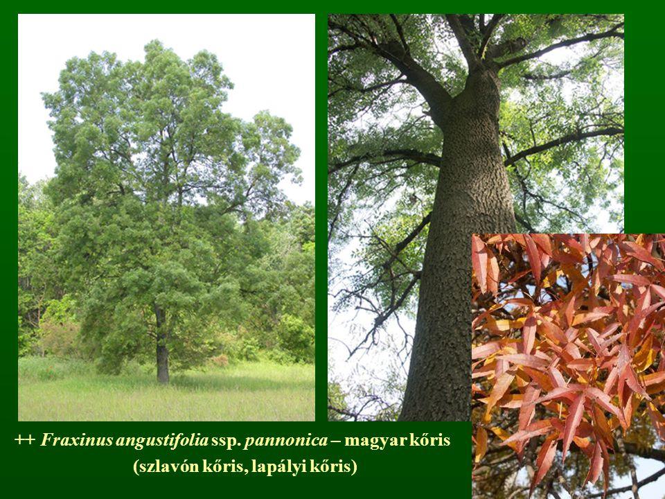 ++ Fraxinus angustifolia ssp. pannonica – magyar kőris (szlavón kőris, lapályi kőris)