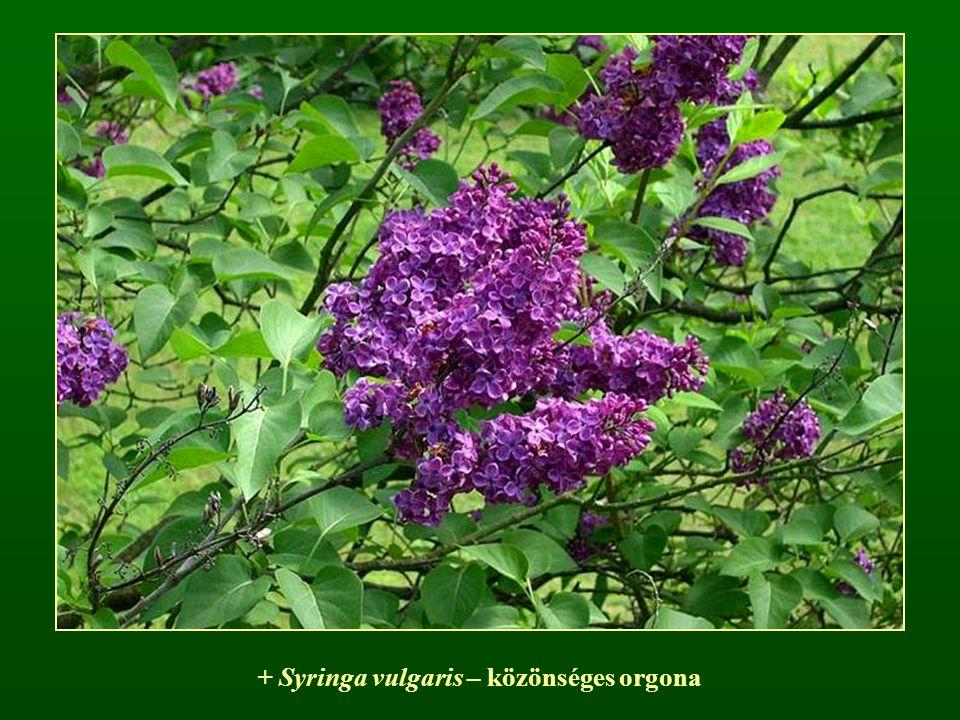 + Syringa vulgaris – közönséges orgona