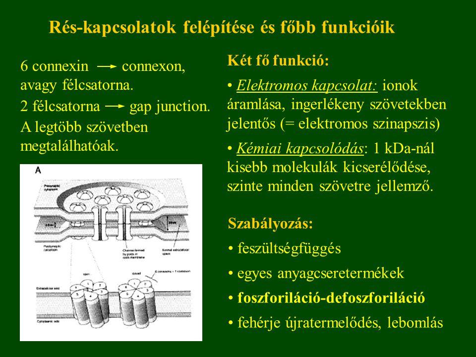 Connexinek (Cx) szerkezete és izoformái Izoformák elnevezése molekulasúly szerint, pl.